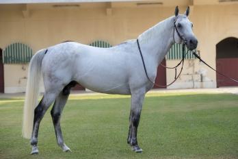 Purebred Arabian Stallions